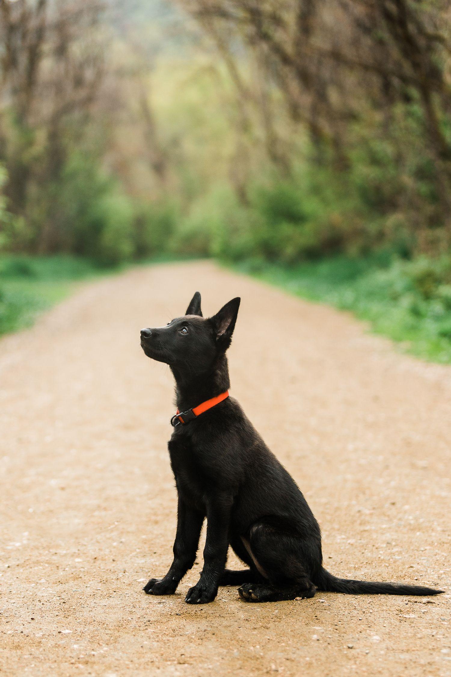 Dutch shepherd puppy allison mae photography puppy