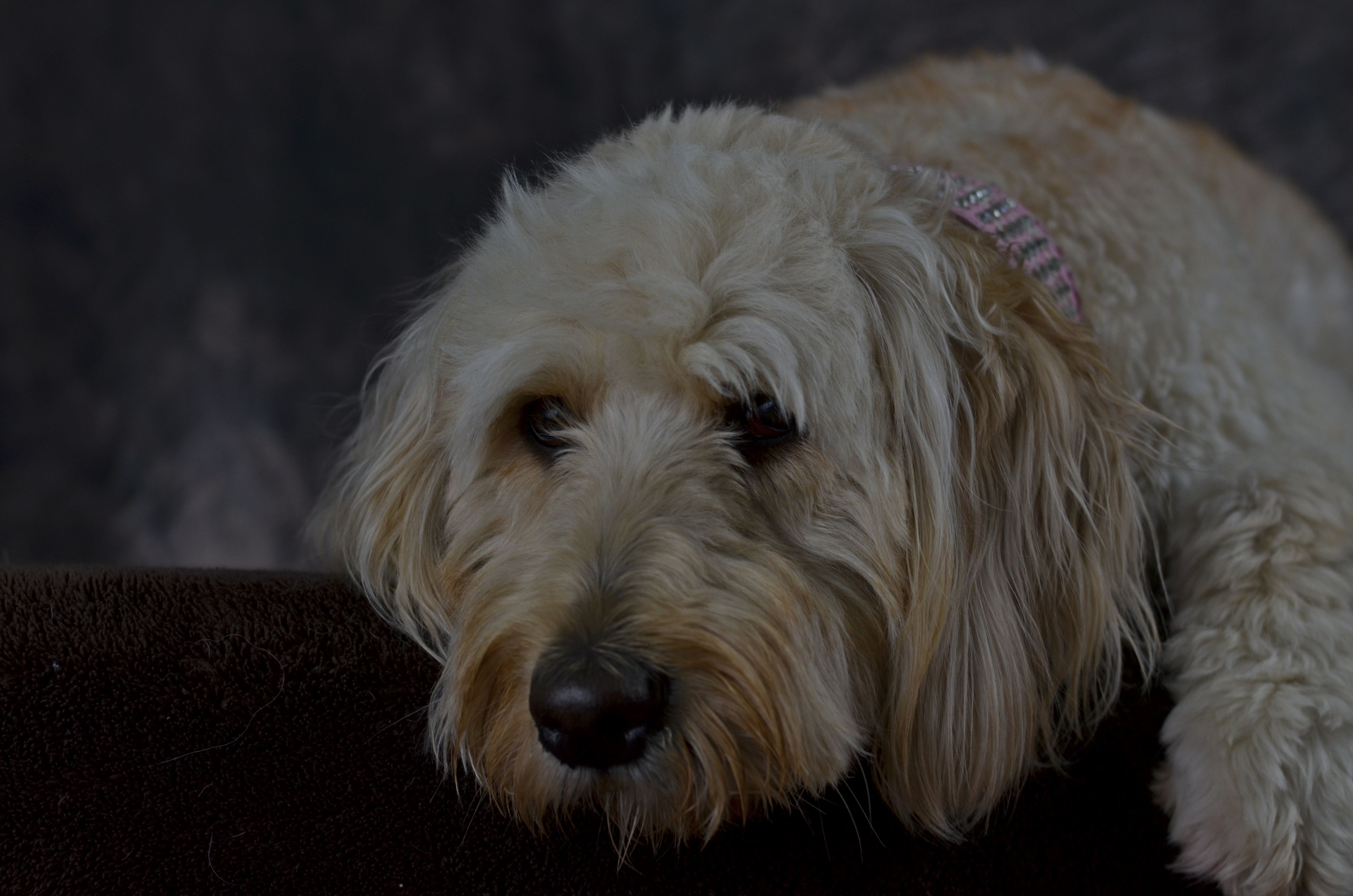 Pin On Goldendoodle