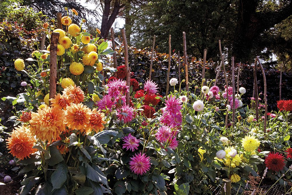 Dahlias | Hever Castle Gardens, Kent
