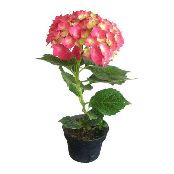 Hortensia Varios colores. Planta de media sombra. Riego 3 veces por ...