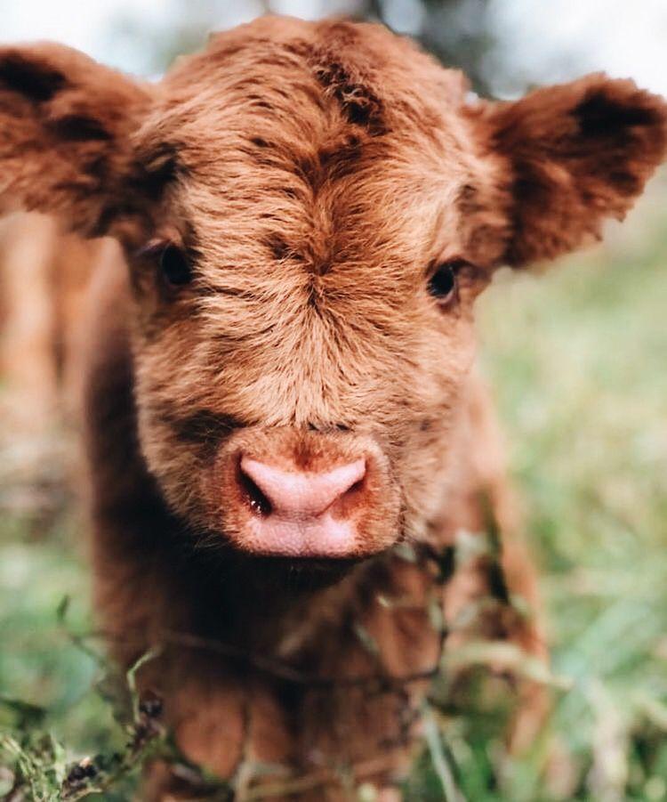 Pin By Bella Colasurdo On Cows Cute Baby Cow Fluffy Cows Cute