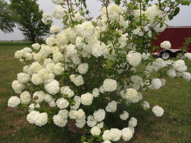 my snowball bush
