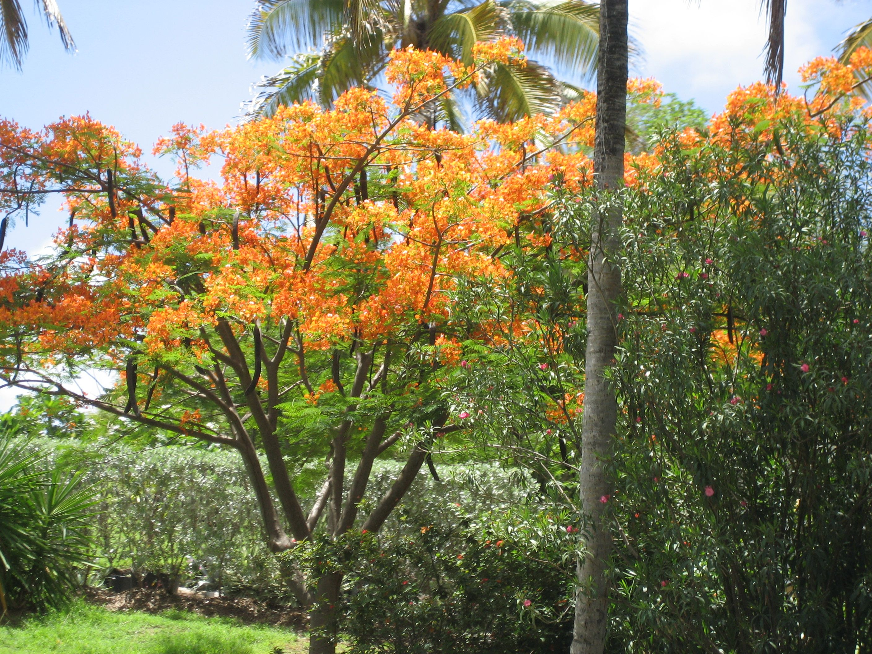 Yellow Flamboyant Tree