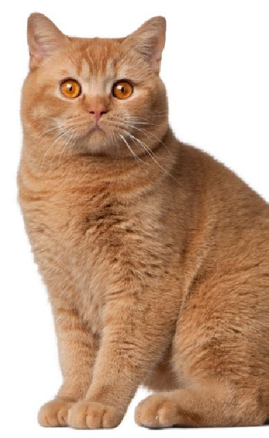 American shorthair cat breeders in ny