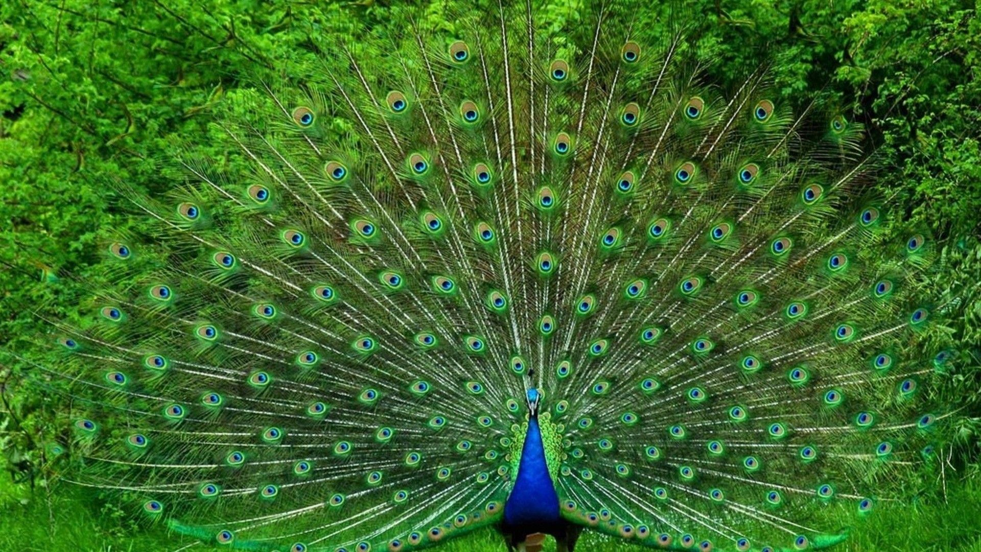 Peacock Wallpaper Peacock Images Peacock Pictures