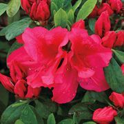 Bloom-a-Thon® Red Azalea