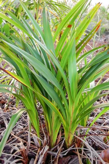 Dianella Javanica Java Flax Lily Plant Care Plants Seeds For Sale