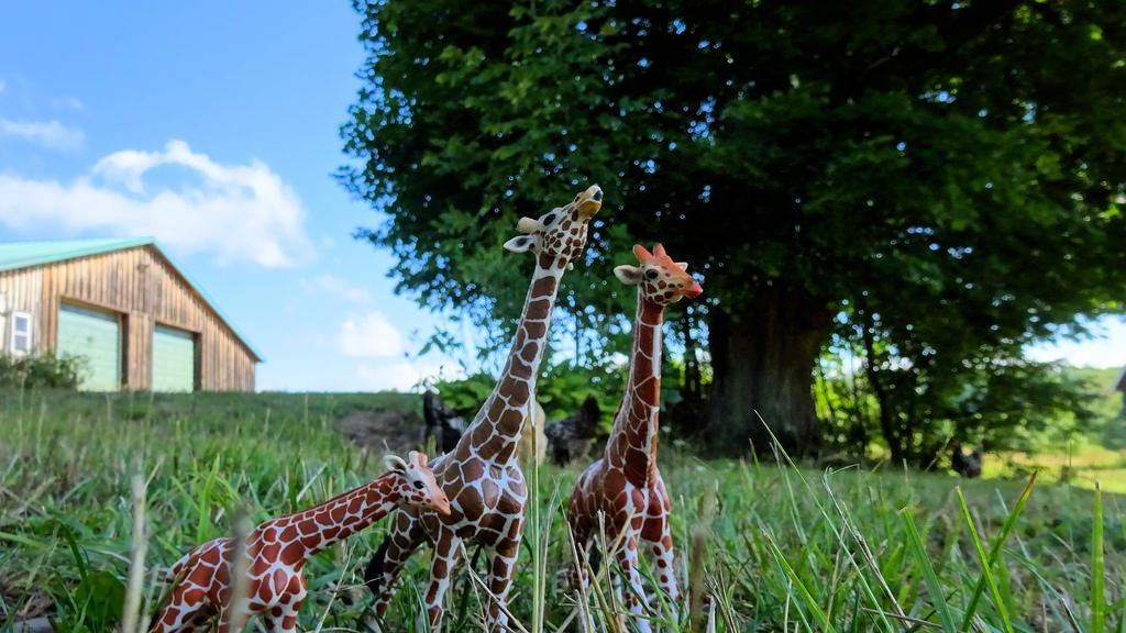 https://flic.kr/p/KM3yiG | In the yard | Giraffes on vacation