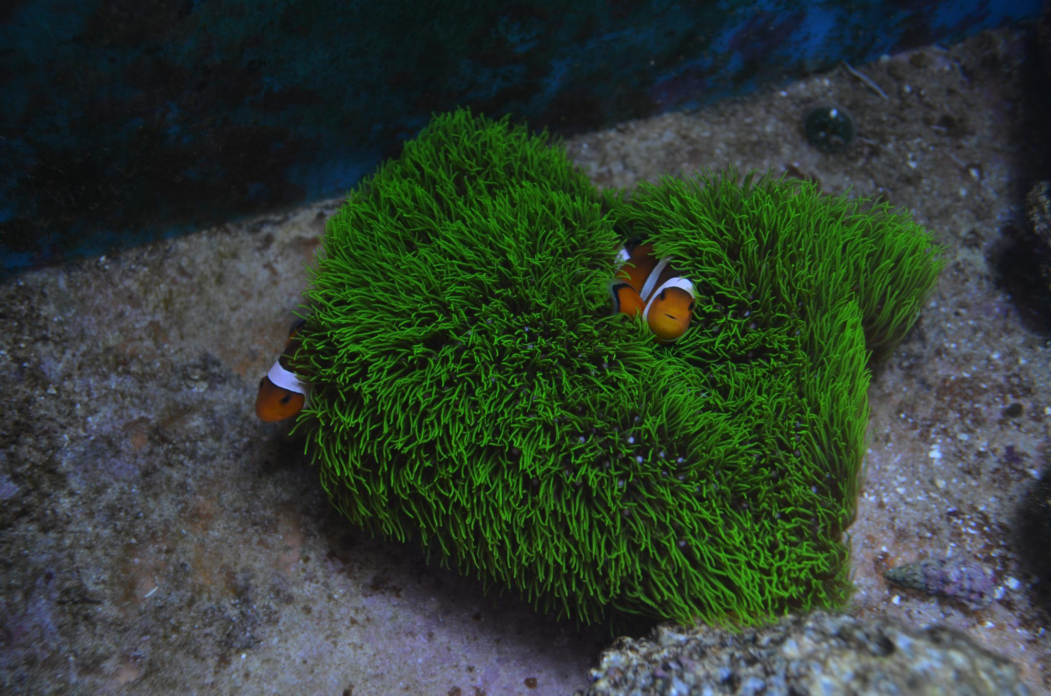 Clownfish playing in green star polyps saltwater aquaria for Green water in fish tank