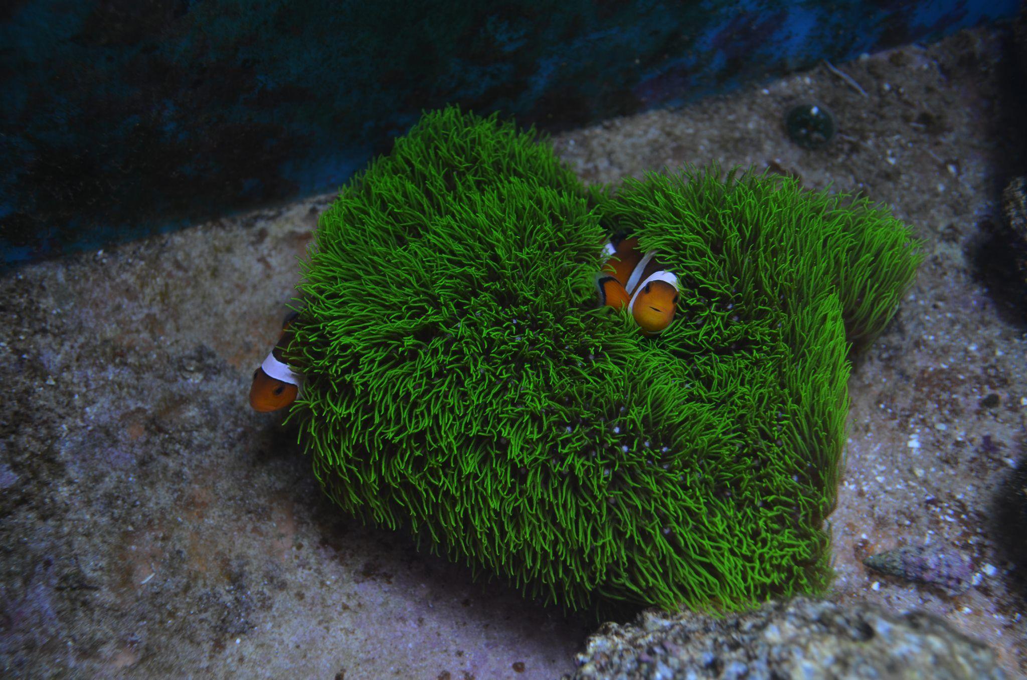 Clownfish Playing In Green Star Polyps Saltwater Aquarium Coral Reef Aquarium Fish Gallery