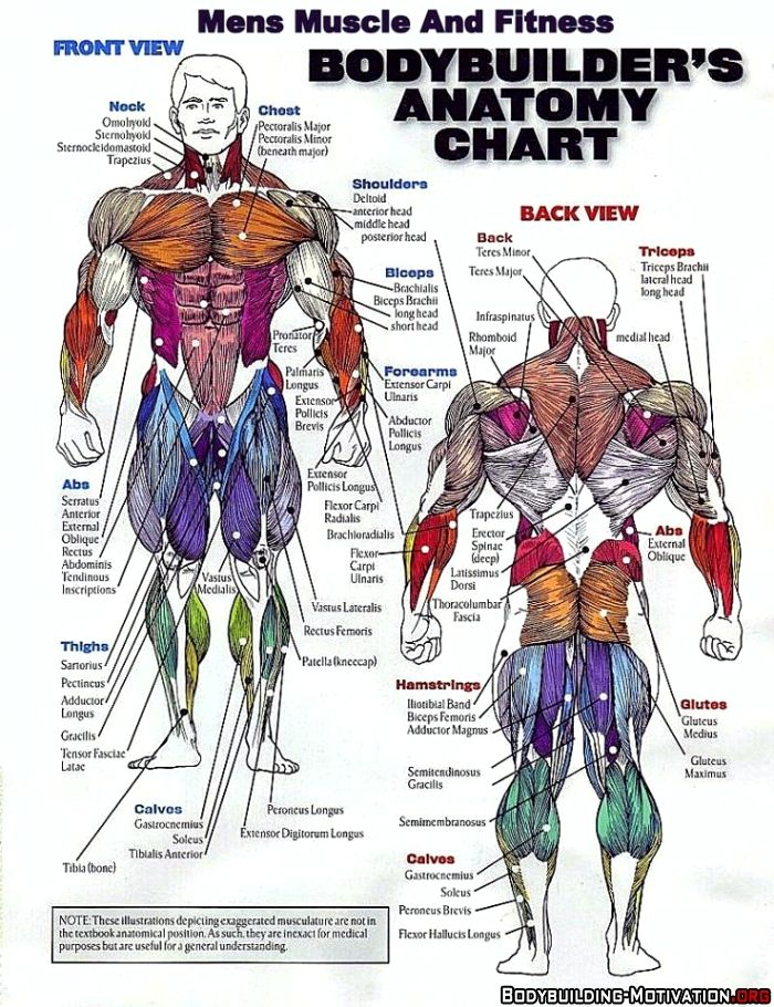 bodybuilder\'s anatomy chart | I\'m fit ❤ | Pinterest | Anatomy ...