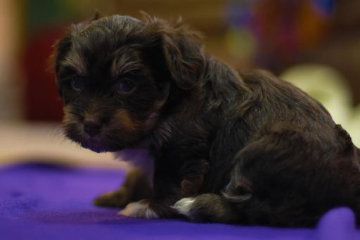 Litter Of 8 Havanese Puppies For Sale In Mantorville Mn Adn 21011 On Puppyfinder Com Gender Male Age 5 Weeks Old Puppies For Sale