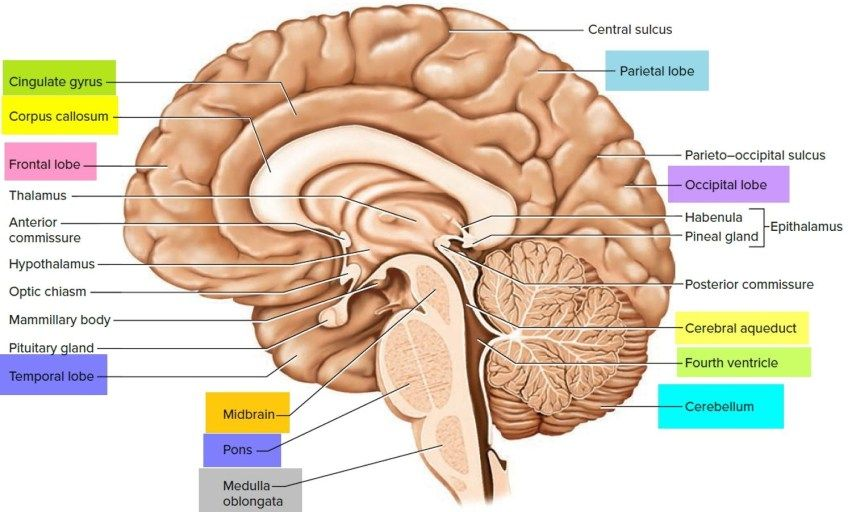 Labeled Pictures Of The Brain Image Result For Labeled ...