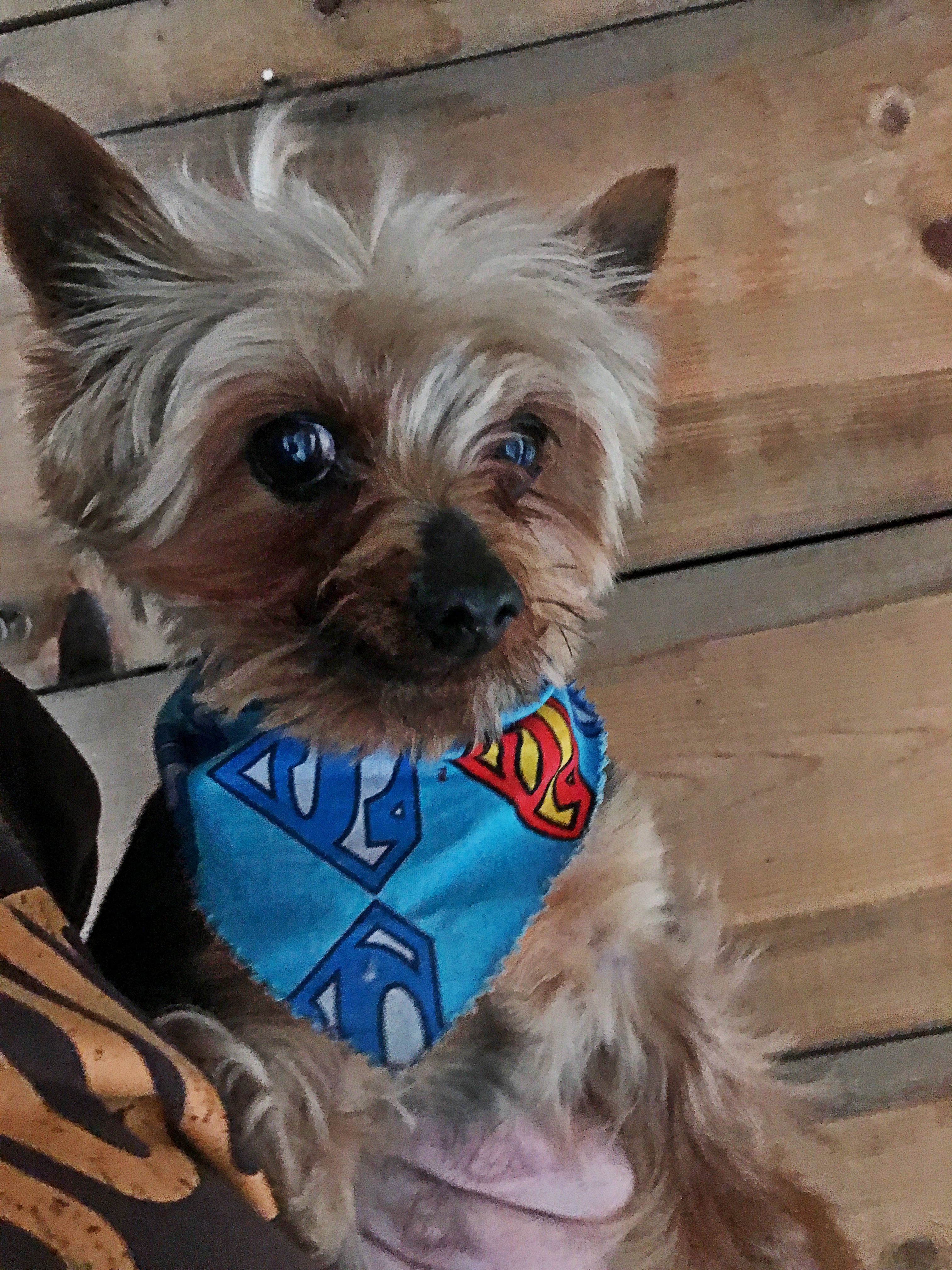 Augustus The Tiny Mighty Yorkshire Terrier Yorkie Puppy Mill Rescue