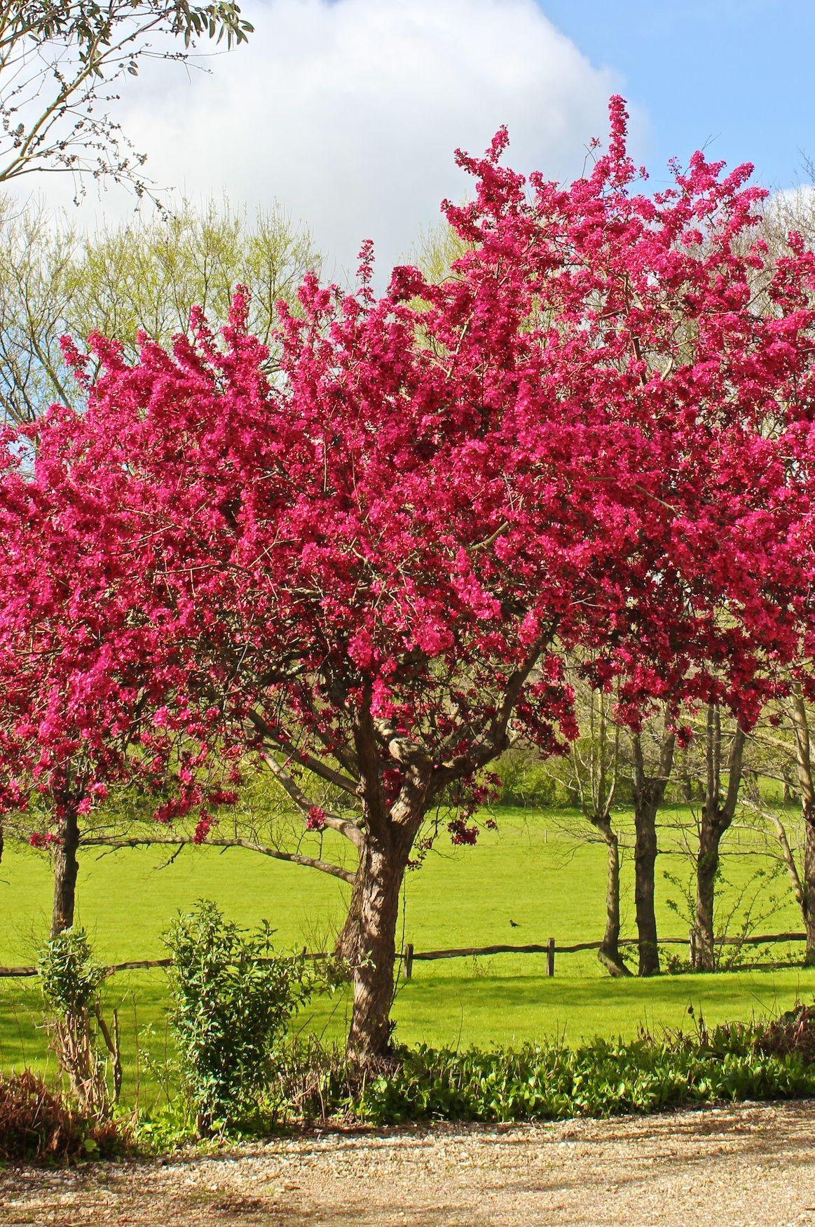 Hawthorn Crataegus Laevigata Paul S Scarlet Blooms In May