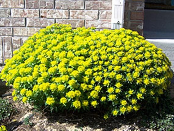 Photo of Euphorbia Polychroma  Seeds (Cushion Spurge)  attractive succulent, evergreen ,perennial