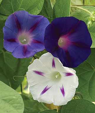 Celestial Mix Morning Glory Seeds And Plants Annual Flower Garden At Burpee Com Morning Glory Flowers Annual Flowers Flowering Vines
