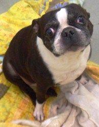 Buddy In Ia Is An Adoptable Boston Terrier Dog In Omaha Ne