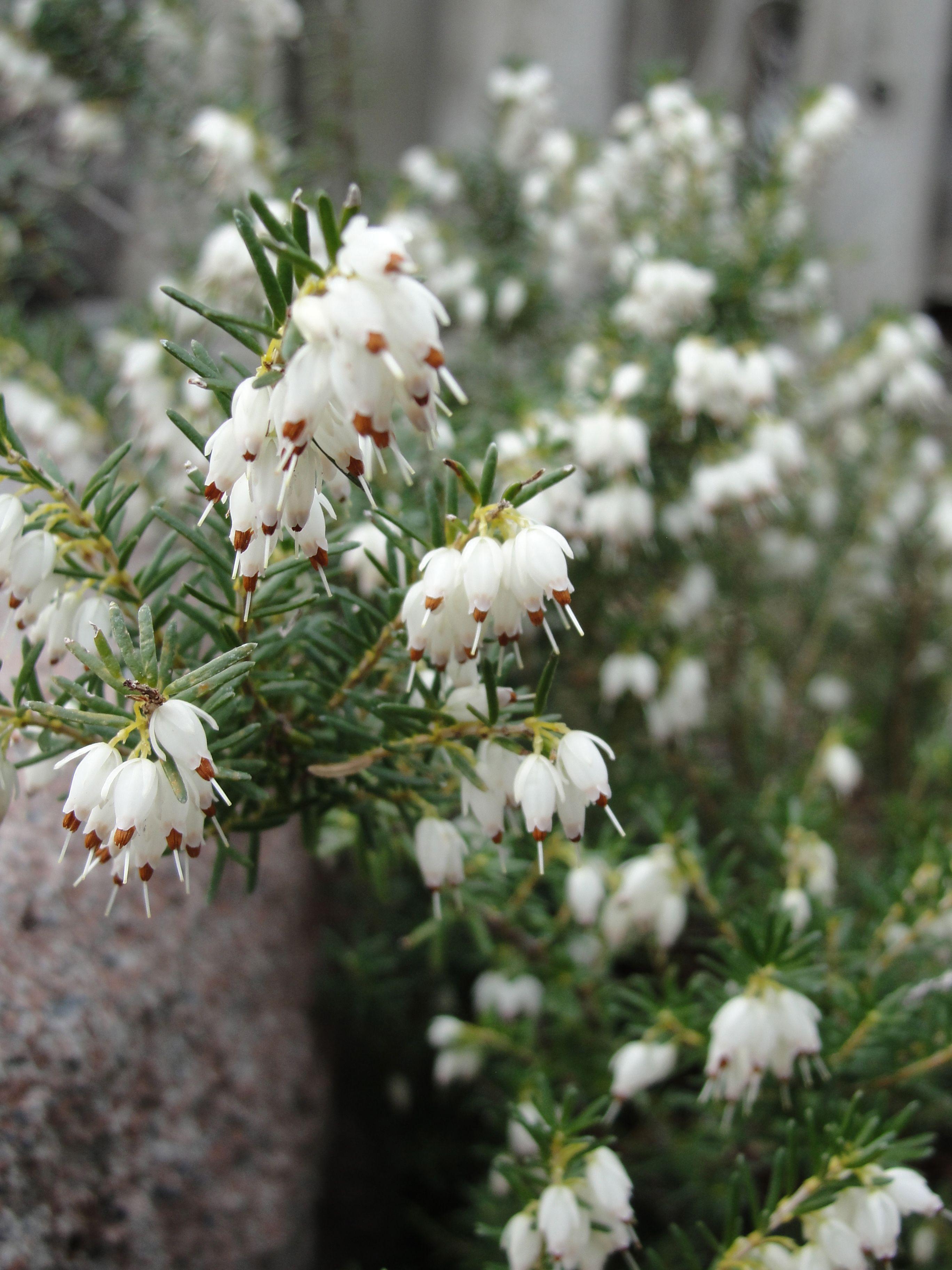 White Heather Heather Flower Moon Garden Flower Field