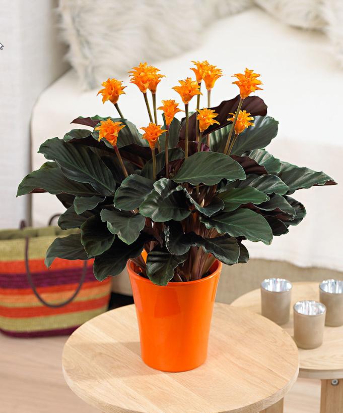 Piante Da Appartamento Estate.Calathea Summer Estate Fiori Flowers Orange Arancione