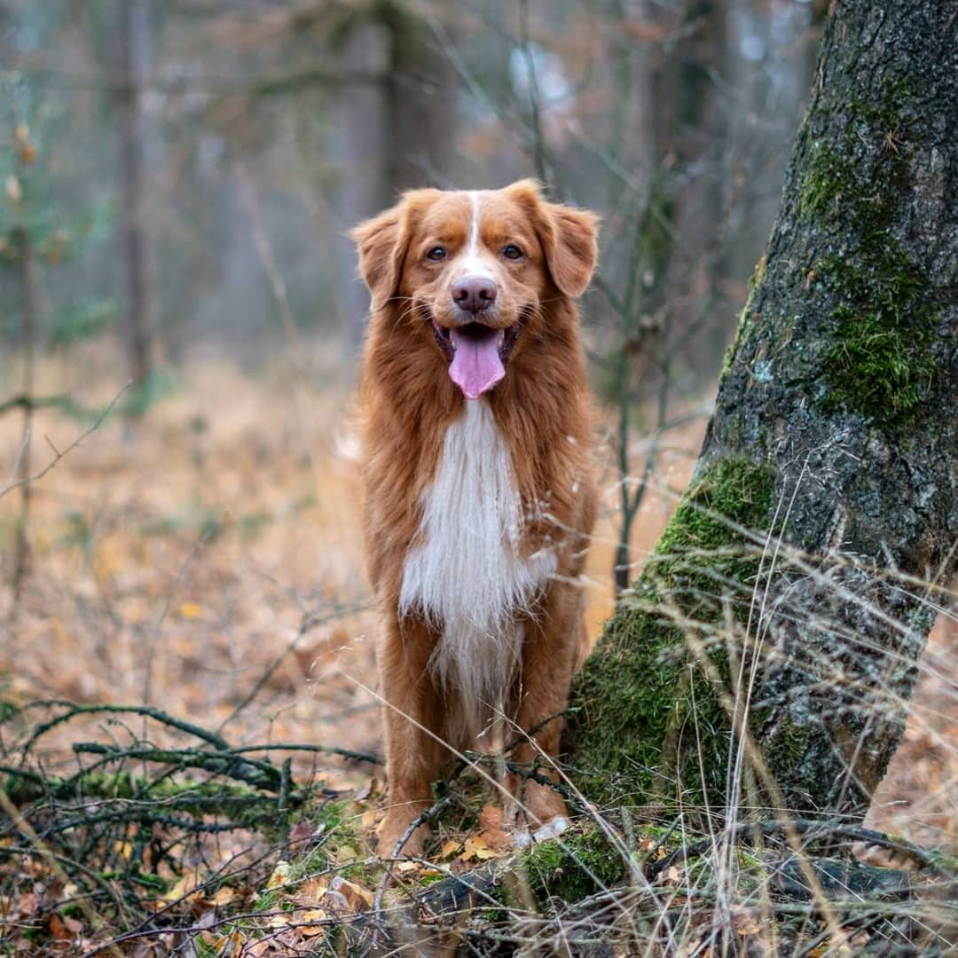 Hovawart Big Dogs That Deserve More Recognition Animalsbay Big Dog Breeds Big Dogs Working Dogs Breeds