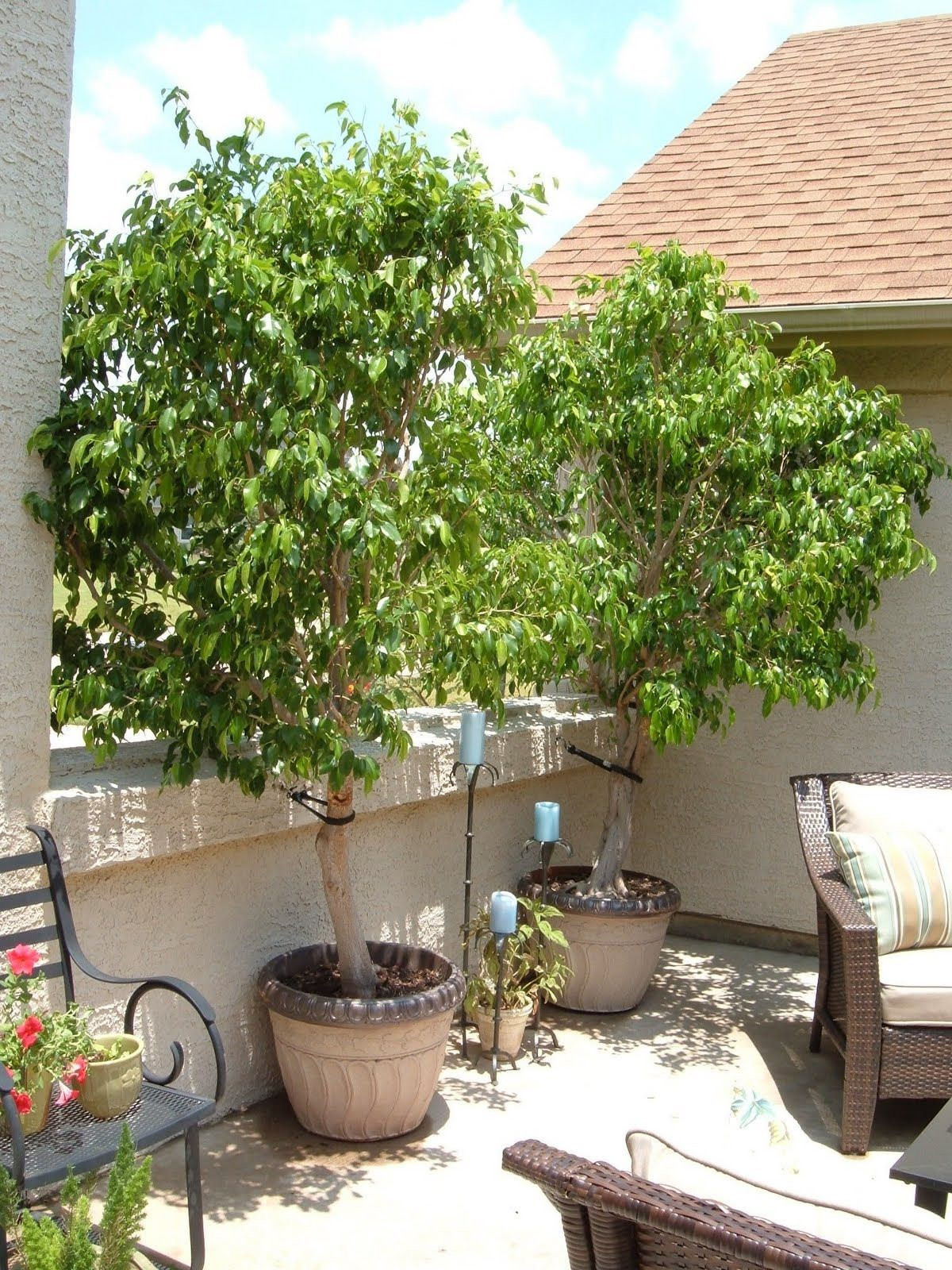Ficus tree for rooftop deck in a container gardening for Terrace plants