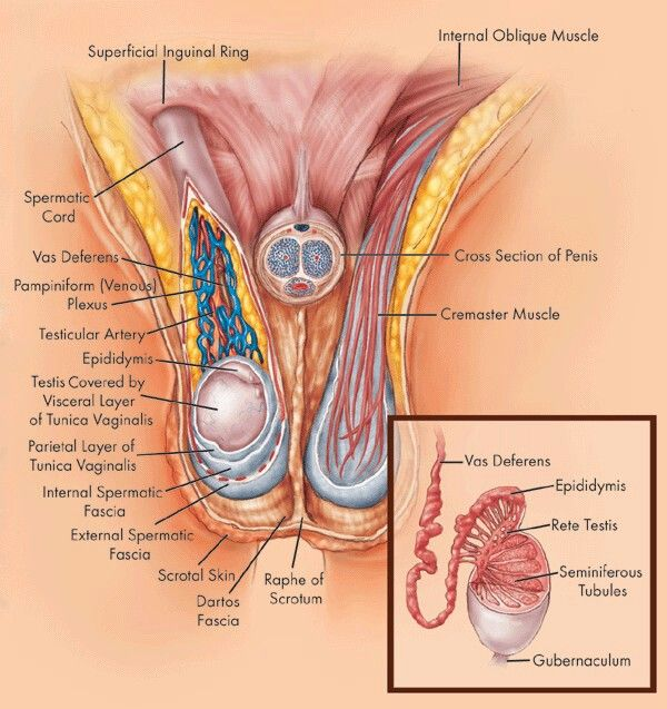 Testicular Anatomy Anatomy Male Sexual Anatomy Pinterest