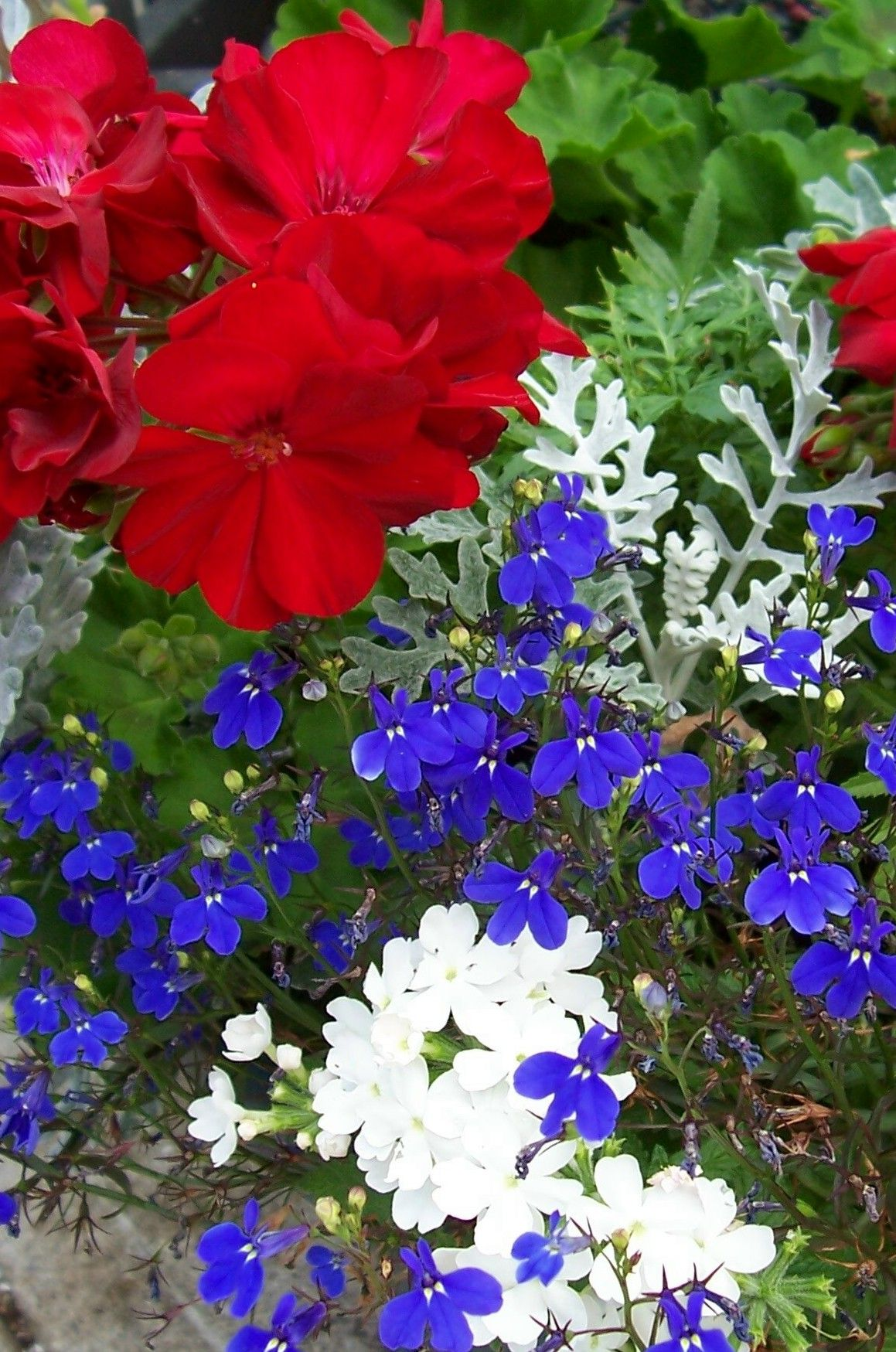 Red white and blue for my 3 tiered planter gardening pinterest red white and blue for my 3 tiered planter izmirmasajfo Gallery