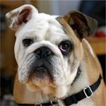 Englische Bulldogge Hunderasse Steckbrief In 2020 Bulldogge Englische Bulldogge Hunde Rassen