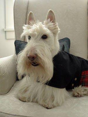 Pin By Polka Dotts On Animals To Love Scottie Dog Scottish Terrier Dog Breeds
