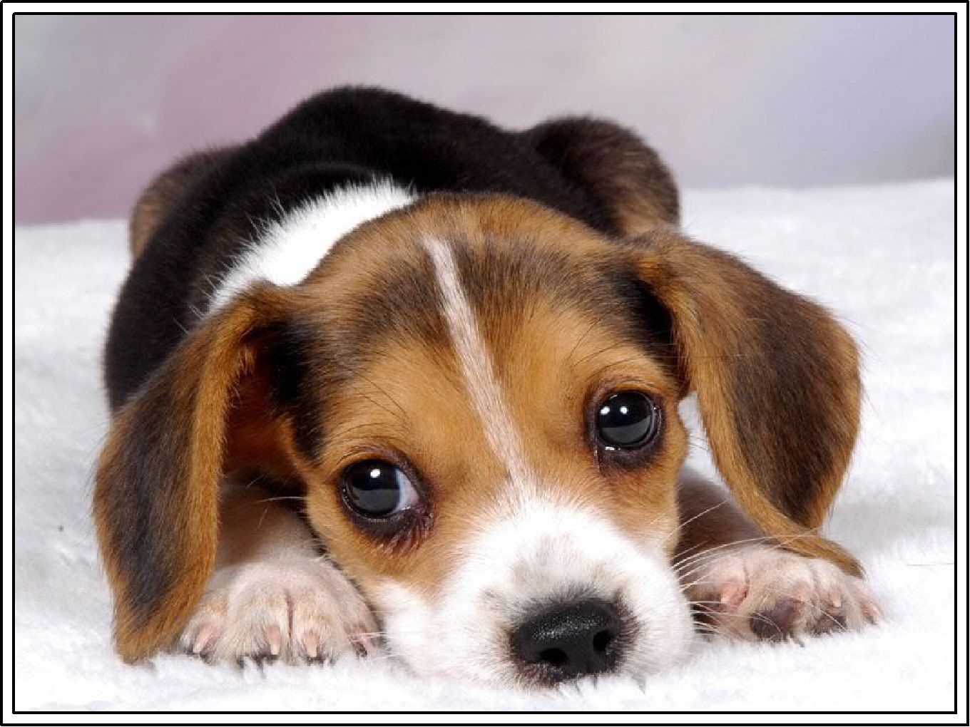 Beagle Puppies Cute Animals Cute Beagles Cute Dogs Beagle Puppy
