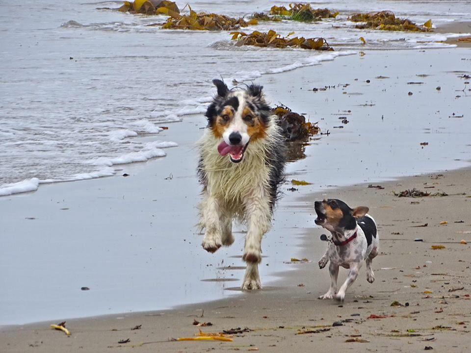 Just Like Bandit And Chloe Aussie Dogs Australian Shepherd Dog Rules