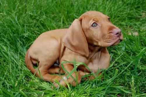 Rhodesian Ridgeback Puppy Rhodesian Ridgeback Puppies Cute Cats And Dogs Puppies