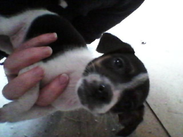 Jack Russell Pups For Sale Glasgow Gumtree Jack Russell
