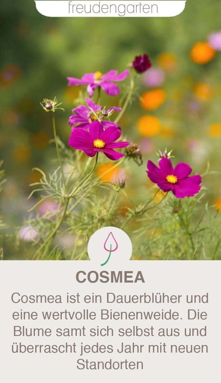 Cosmea im Garten: Schmuckkörbchen richtig pflanzen und pflegen
