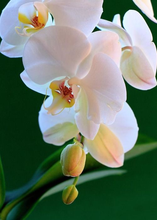 White And Tender Orchid Greeting Card For Sale By Rusalka Koroleva Orchids Orchid Greeting Card Beautiful Orchids