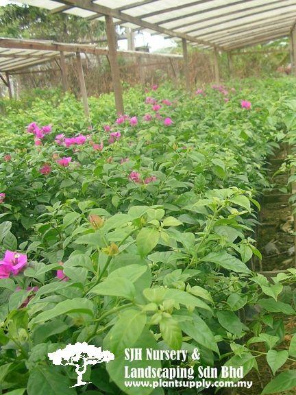 C010305bougainvillea Mrs Eva Wholesale Plants Wholesale Plant