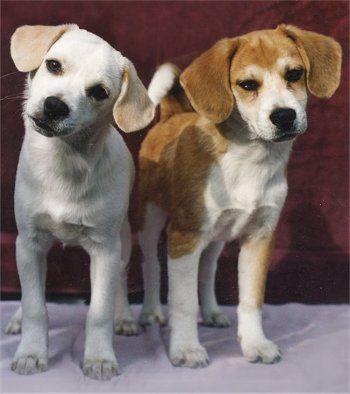 Bekimos American Eskimo Beagle Cross Buster Brown And