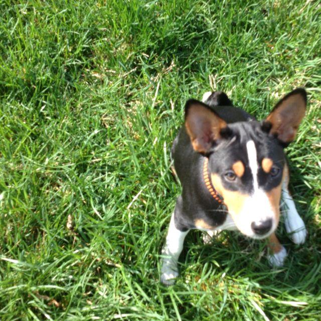 Training my Basenji Dog training near me, Dog allergies