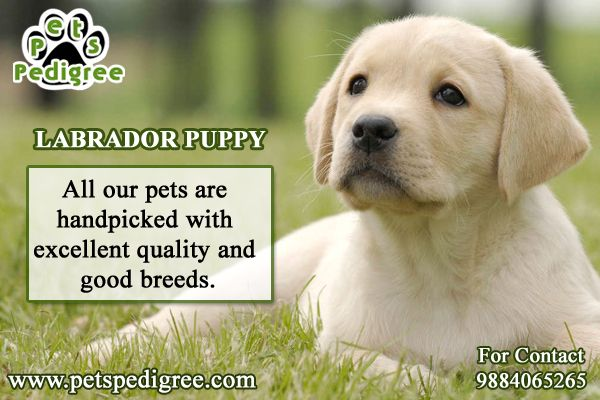 Cute Puppy Shop In Chennai In 2020 Pets Dogs Breeds Pet Puppy Pets