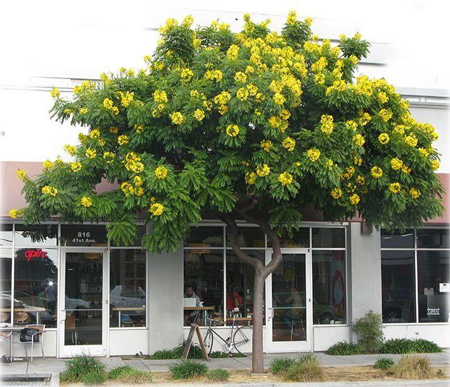 Evergreen shade trees for san diego baumarten for Pflanzen evergreen