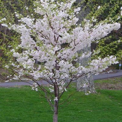 Onlineplantcenter 5 Gal 5 Ft Yoshino Cherry Tree P3885g5 The Home Depot Yoshino Cherry Tree Yoshino Cherry Japanese Cherry Tree