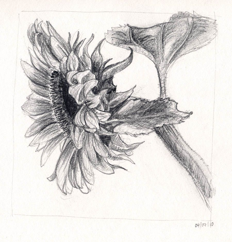 Drawings Of Sunflowers In Pencil sunflower drawing tumb...