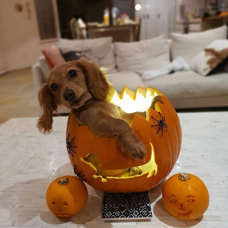 Happy Halloween Dog halloween costumes funny, Puppy