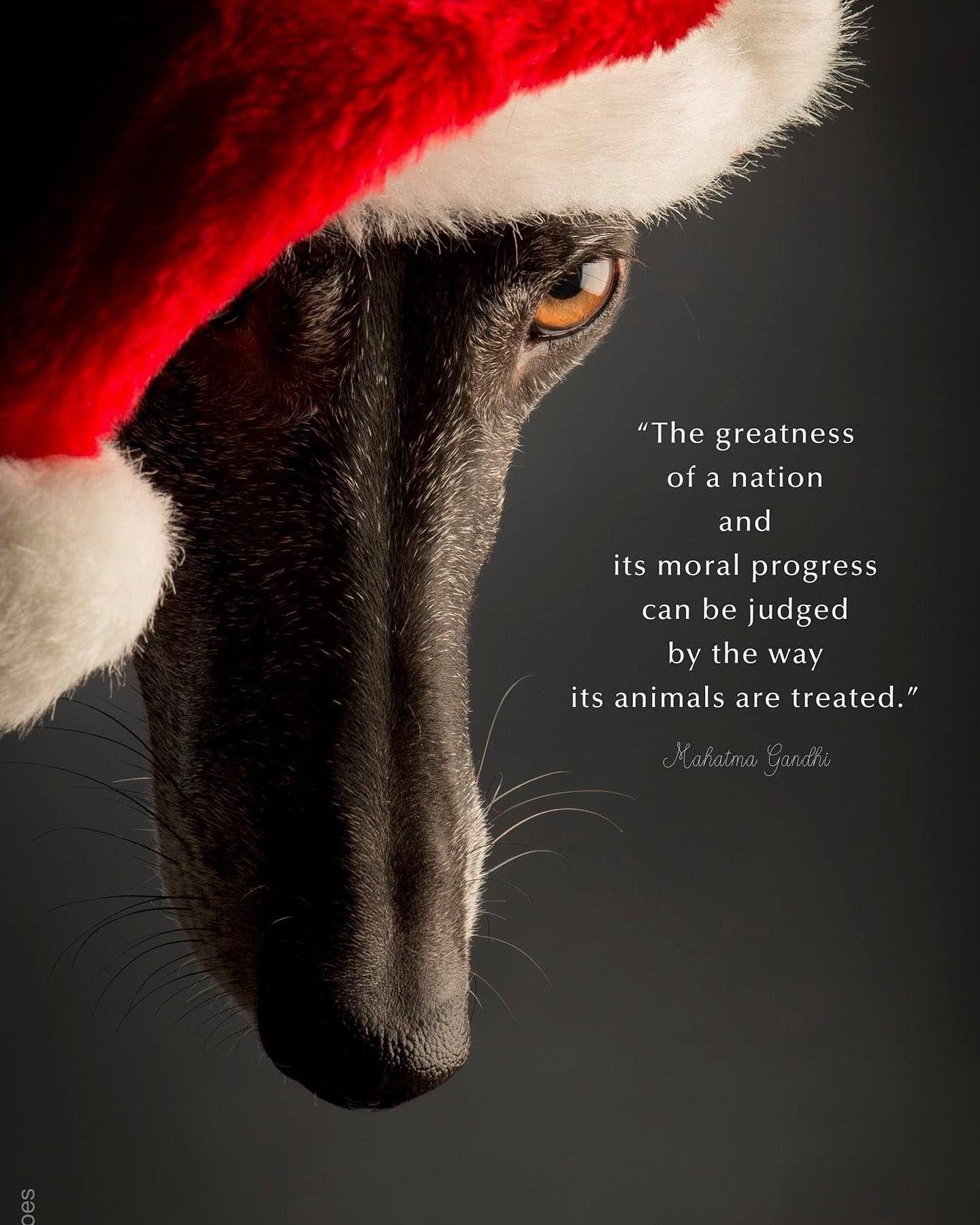 Merry Christmas  #galgo #sighthounds #sighthound #doglover #animallovers #galgolovers #love #christmas #merrychristmas #xmasday #dogphotography #greatmodel #instadog #galgoespañol #doglife #dogportrait #dogstagram #dogphotographer #photography #christmashat