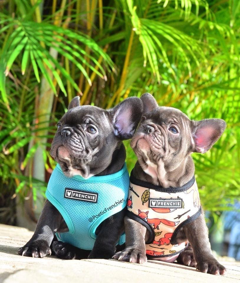 Gigi S Little Beauties Www Poeticfrenchbulldogs Com