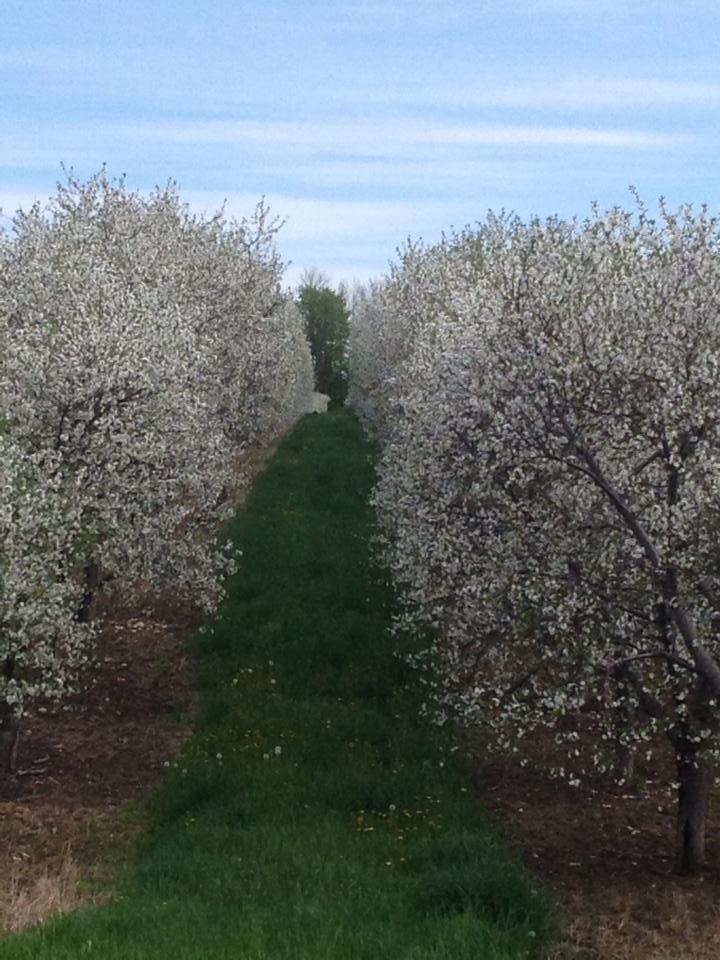 Cherry Blossoms In Door County Door County Wisconsin Door County Door County Wi