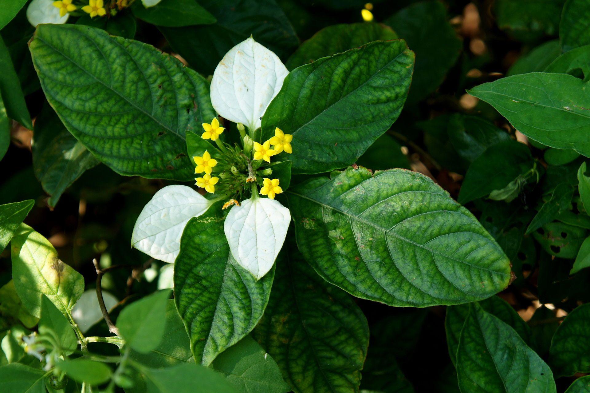 Mussaenda pubescens buddhas lampg flower plants mussaenda pubescens buddhas lampg ccuart Images