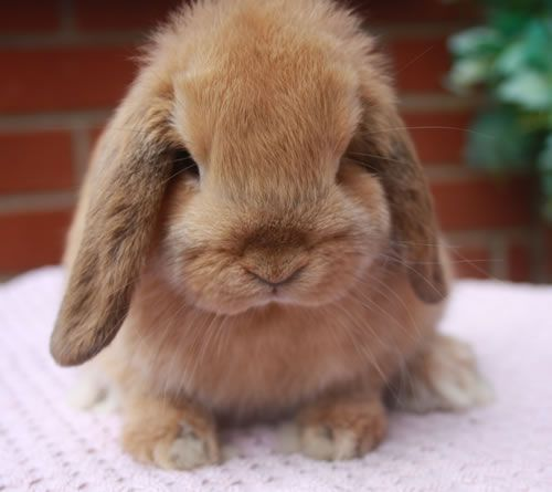 orange mini lop doe for sale bred by brc member exhibitor has been treated against worms. Black Bedroom Furniture Sets. Home Design Ideas