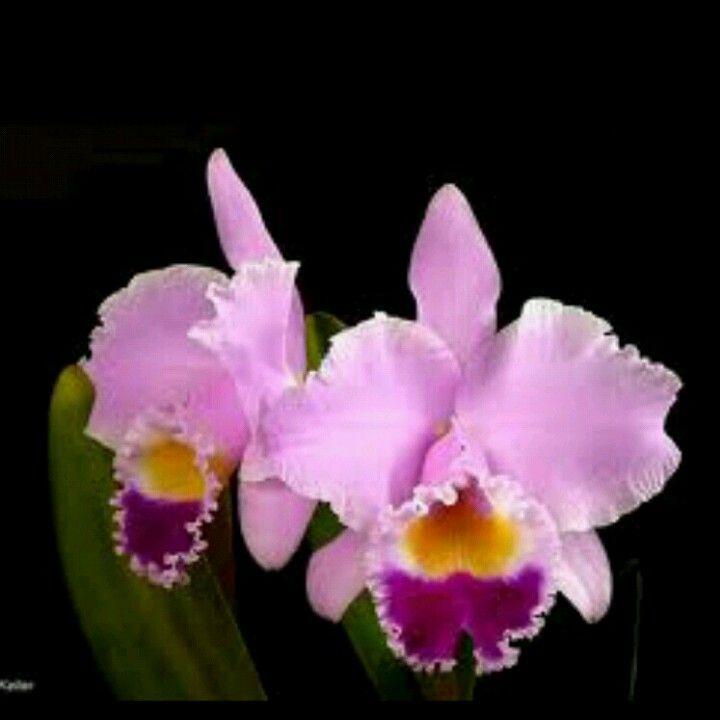 Flor Cataleya Schone Blumen Orchideen Hibiskus